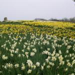 "FIELD OF dAFFODILS  ""VanGogh's 'Starry Starry Night' gives way to starry starry day as daffodils proclaim springtime!"""