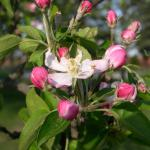"Open Apple Blossom  ""Bursting with Joy Life reminds us there Is a future Full of hope If we believe. •"