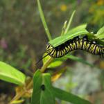 "Munch munch crunch crunch  ""The monarch caterpillar focuses on what feeds its growth. What feeds our growth?"""
